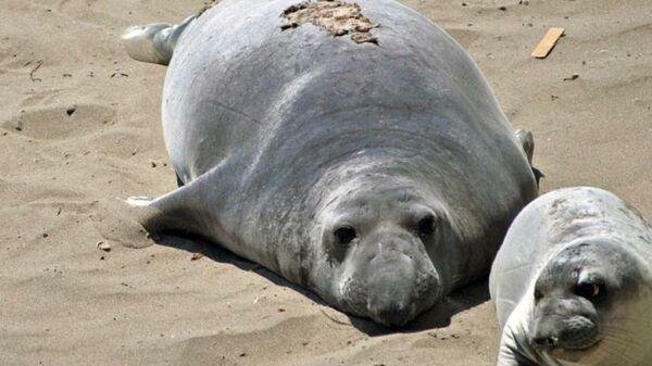 Самка морского слона и ее детеныш. Эмбрионы этих млекопитающих, а также тюленей и других ластоногих проходят состояние диапаузы