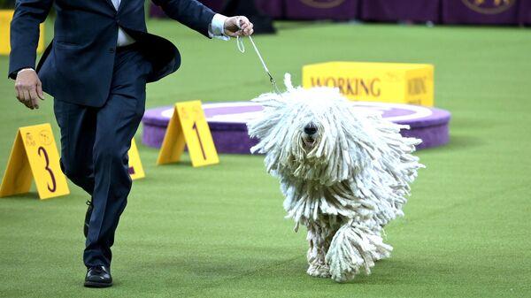 Собака породы Комондор на ежегодной выставке 2020 Westminster Kennel Club Dog Show в Мэдисон-Сквер-Гарден в Нью-Йорке