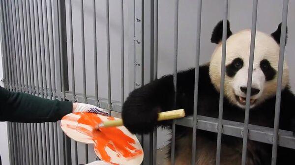 Самец панды по кличке Жуи раскрашивает валентинку для своей избранницы панды Диндин в Московском зоопарке. Стоп-кадр видео