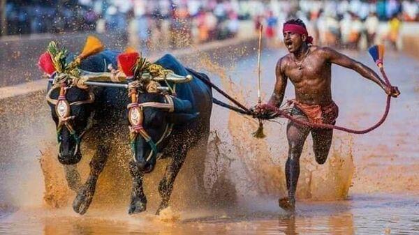 Индийский бегун с буйволами