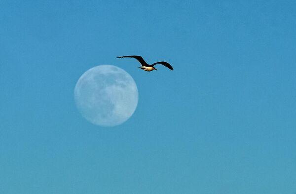 Чайка и луна над Финским заливом в Петергофе