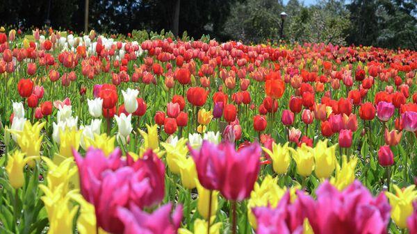 Тюльпаны в Никитском ботаническом саду в Крыму