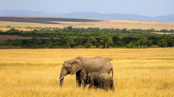 Слоны в национальном заповеднике Масаи-Мара в Кении