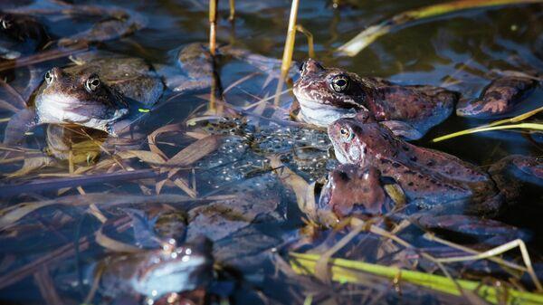 Бурые лягушки в брачный период