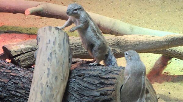Капские земляные белки в вольере Московского зоопарка