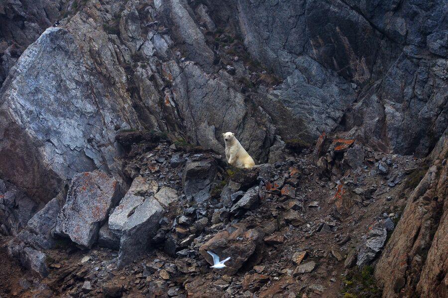 Белый медведь в бухте Драги на острове Врангеля