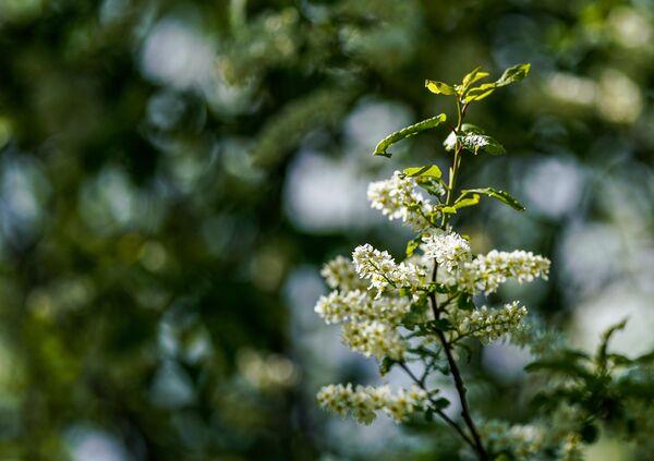 Цветущая ветка черемухи.
