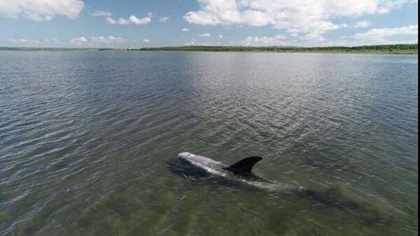 Серый дельфин, спасенный из иловой ловушки в бухте Мелководная в районе Де-Фриза в Приморье