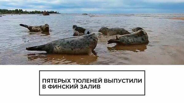 На свободу: пятерых тюленей выпустили в Финский залив