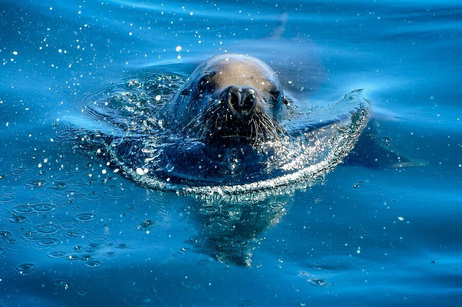 Морской котик в море в районе Монтевидео