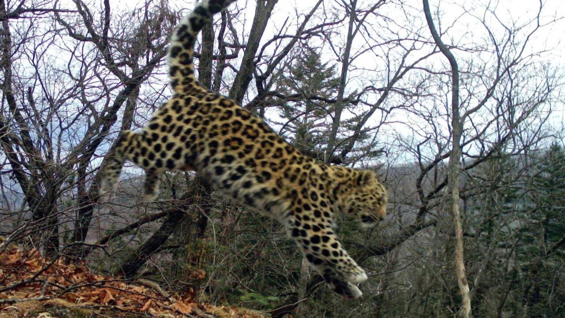 дальневосточный леопард Leo 123F - РИА Новости, 1920, 03.11.2020