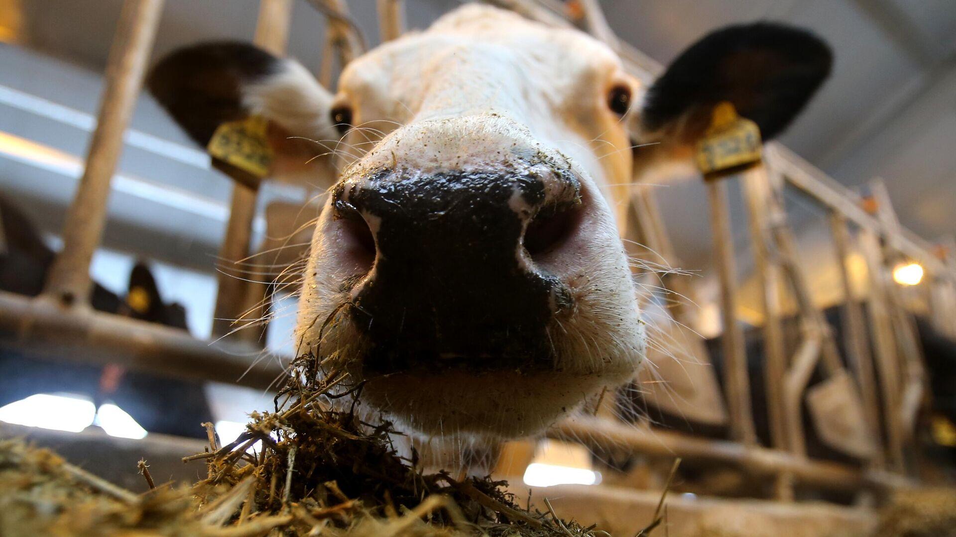 Корова на молочной ферме - РИА Новости, 1920, 12.06.2020
