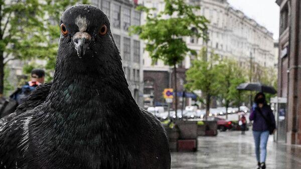 Голубь на Тверской улице в Москве.