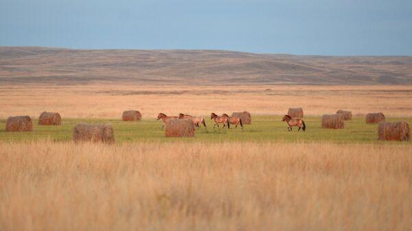 Лошади Пржевальского в заповеднике Оренбургский