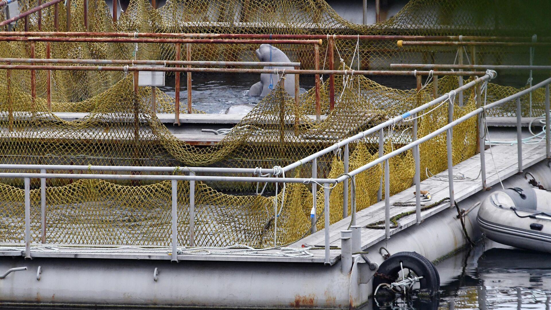 Попавшим в ледовый плен на Чукотке белухам хватит рыбы, заявили ученые