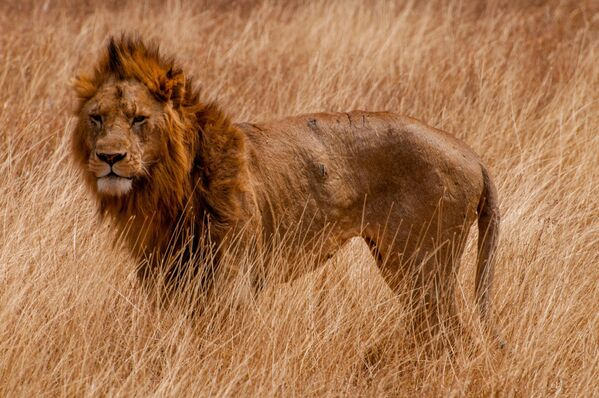 Лев в национальном парке Серенгети в Танзании