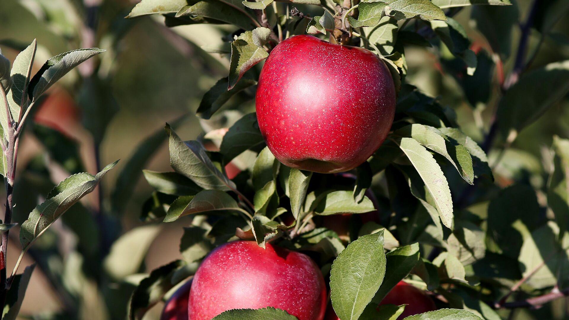 Яблоки на ветке в саду Северского района в Краснодарском крае - РИА Новости, 1920, 13.09.2021