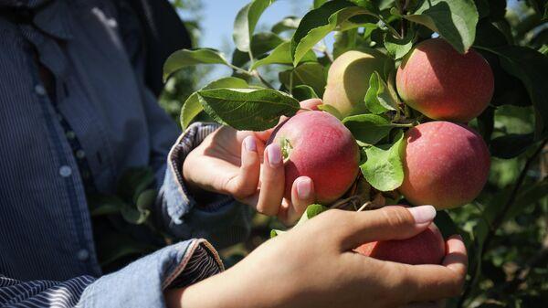 Сбор урожая яблок в Краснодарском крае