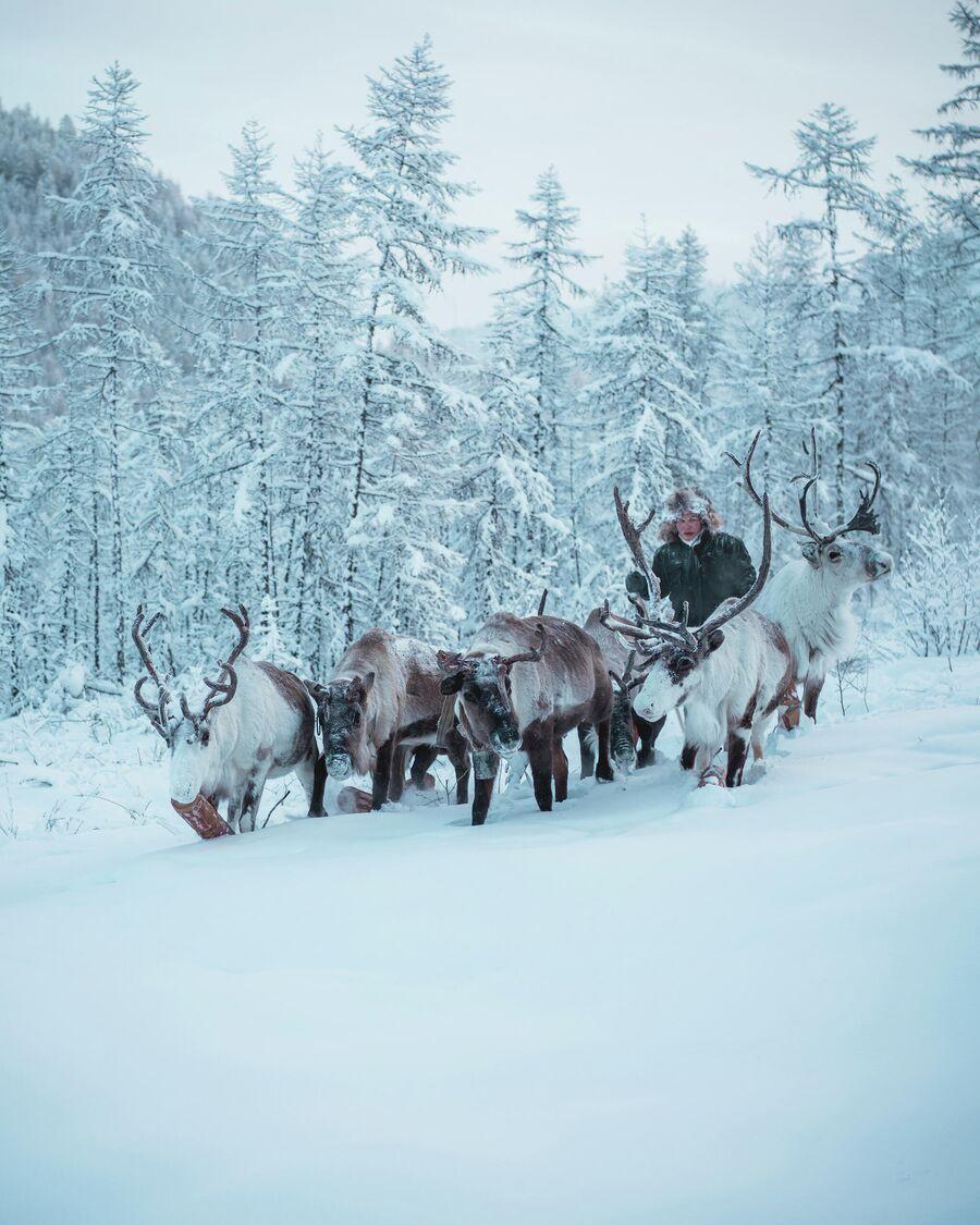 Оленевод Егор гонит оленей в лагерь