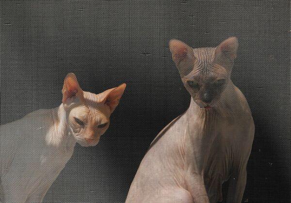 Кошки сфинксы в городе Ессентуки, Россия