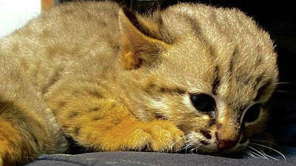 В Новосибирском зоопарке показали первых котят редких ржаво-рыжих кошек
