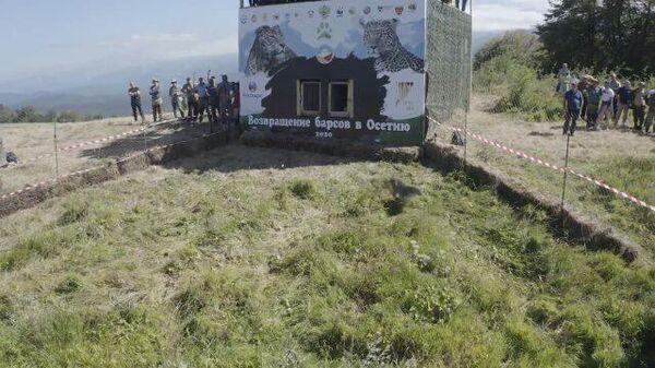 Возвращение кавказских барсов в дикую природу Северной Осетии