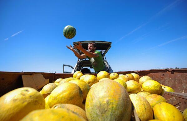 Сбор урожая арбузов и дынь в крестьянско-фермерском хозяйстве в Краснодарском крае