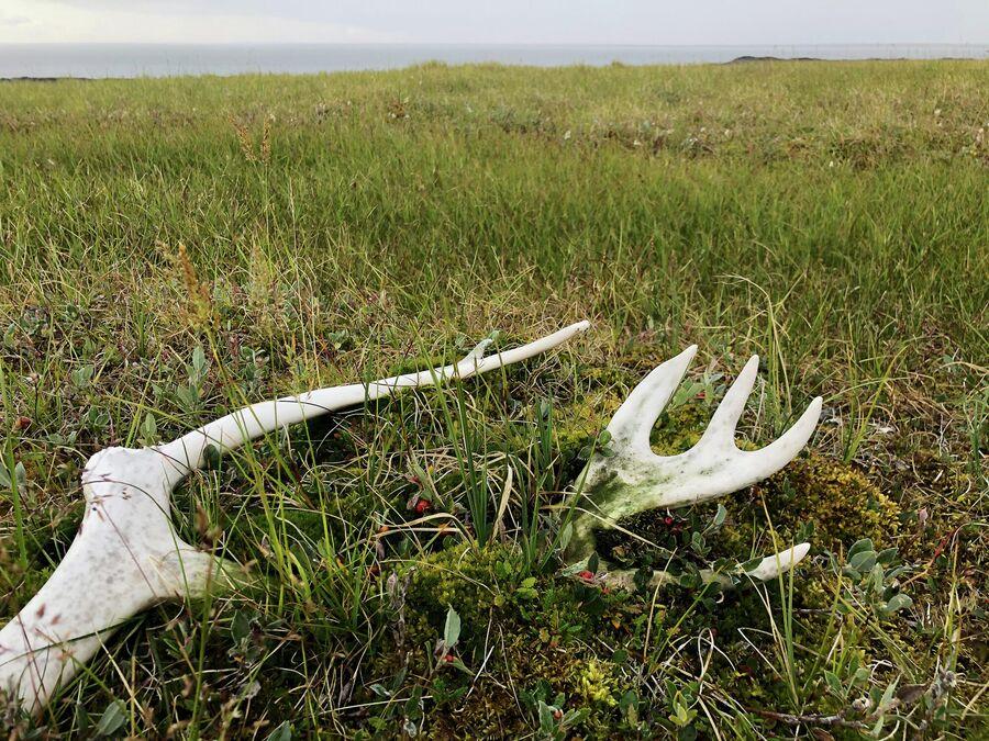 Оленьи рога в тундре