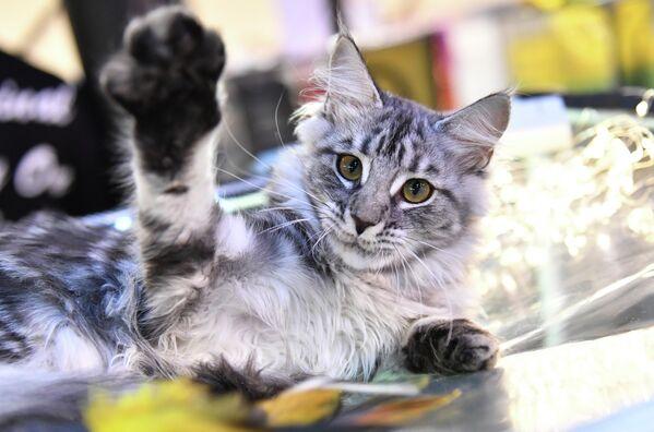 Котенок породы мейн-кун на выставке КоШарики Шоу в Сокольниках