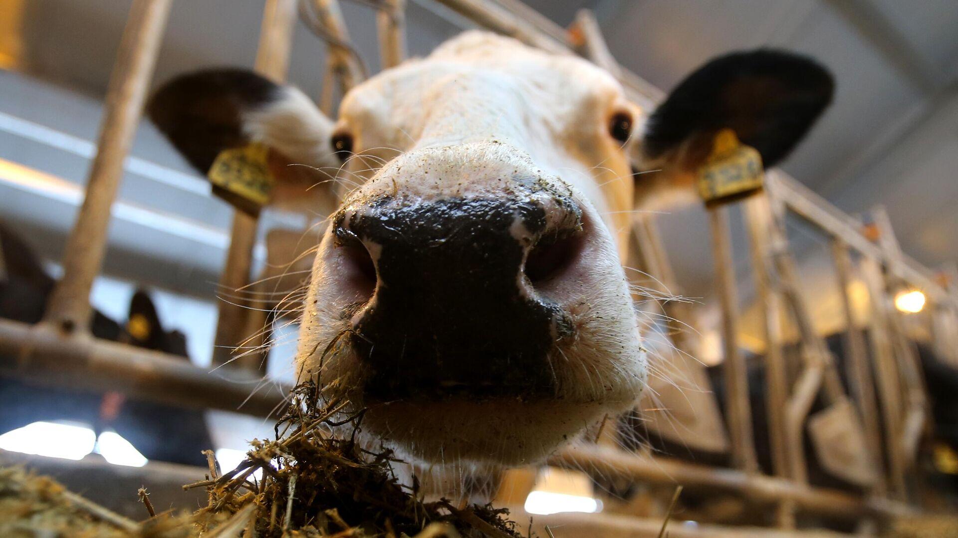 На юге Поморья появится крупный животноводческий комплекс