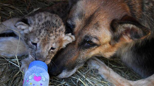 Директор парка Белый лев в Приморском крае Виктор Агафонов кормит львенка из бутылочки