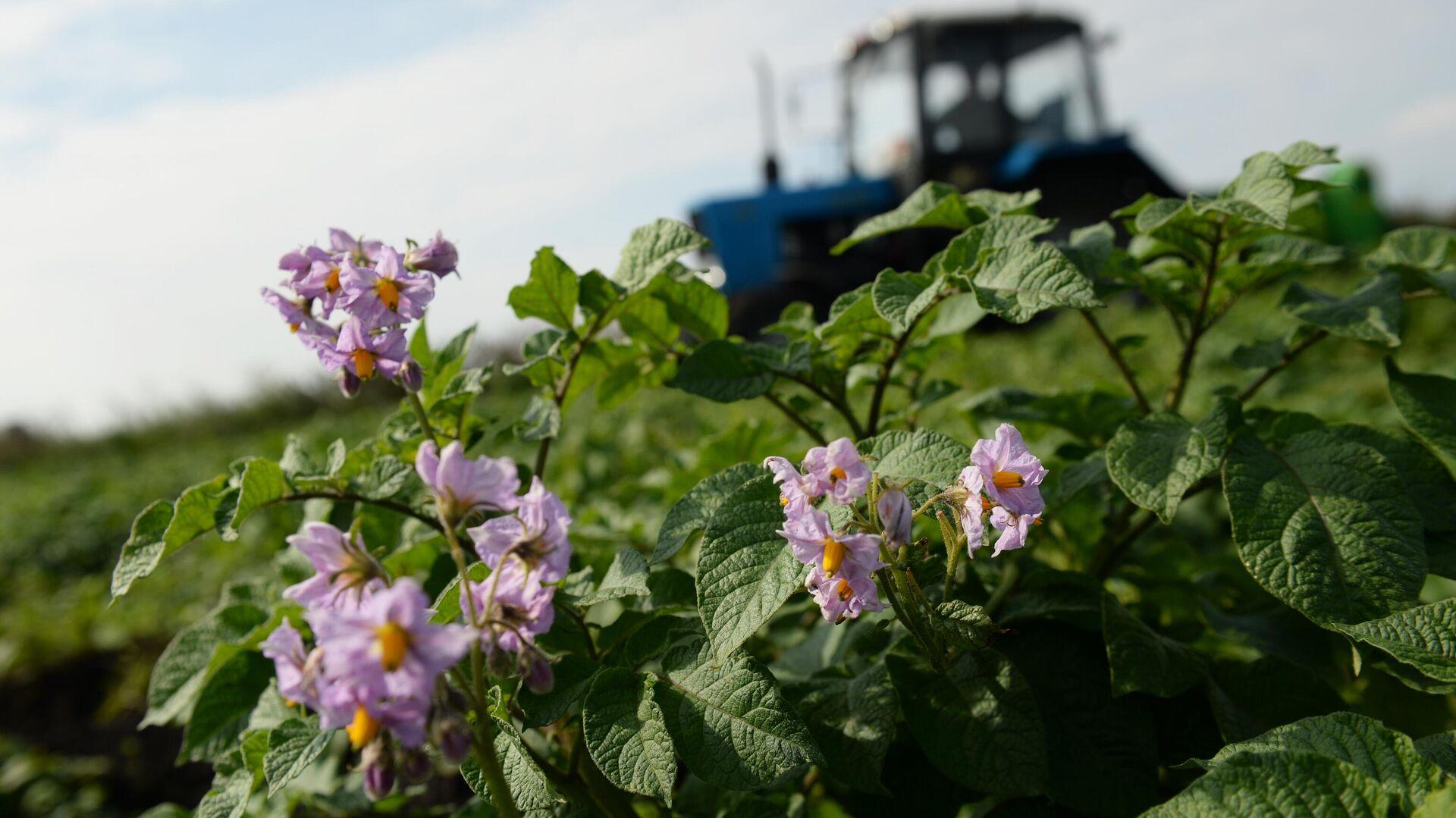 Около 300 га виноградников планируется заложить на Ставрополье в 2021 году