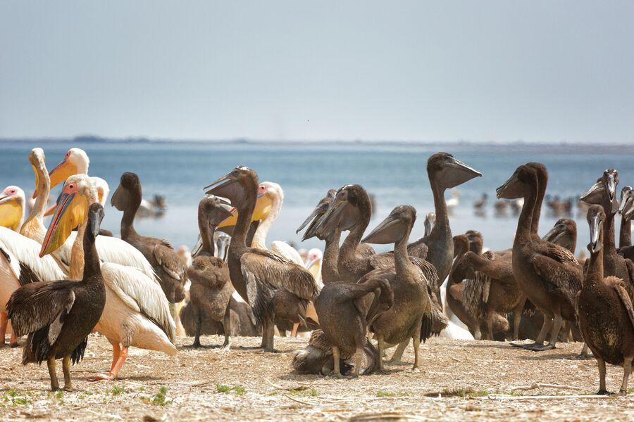 Заповедник Черные земли, озеро Маныч-Гудило, розовые пеликаны с птенцами