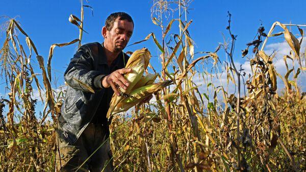 Сбор урожая кукурузы в Абхазском селе Лыхны