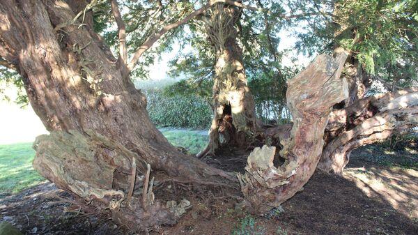 Тис ягодный на кладбище в Уэльсе, Великобритания