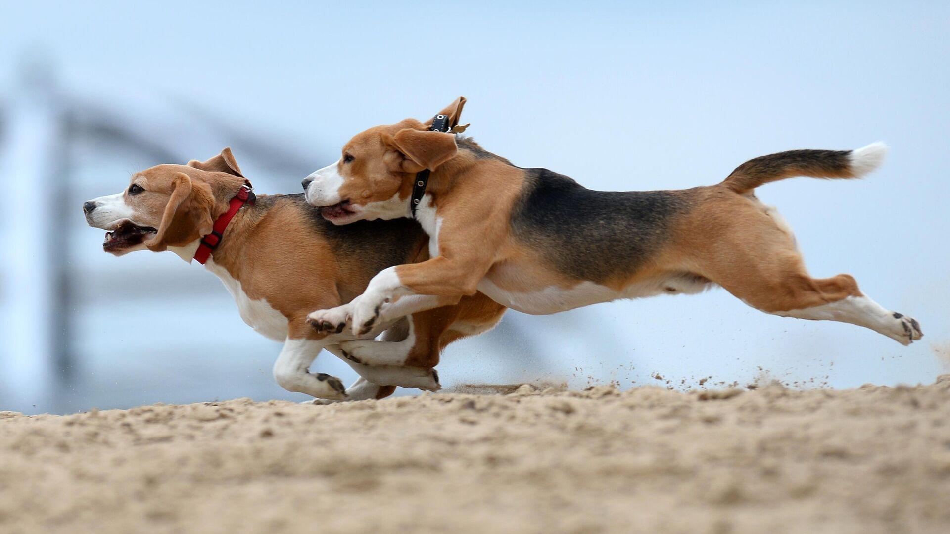 Собаки породы бигль во время тренировки собак  - РИА Новости, 1920, 06.12.2020
