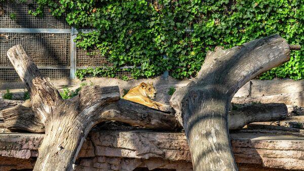 Львица в зоопарке Барселоны