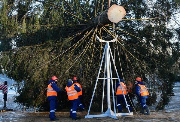 Рубка главной новогодней елки возле деревни Таширово в Наро-Фоминском районе Подмосковья