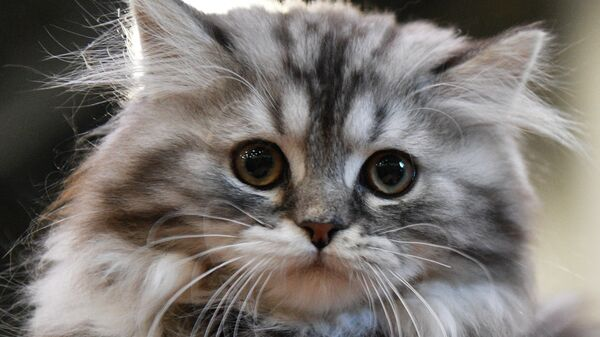 Кошка породы сибирская на выставке Кэт-Салон-Февраль в Москве