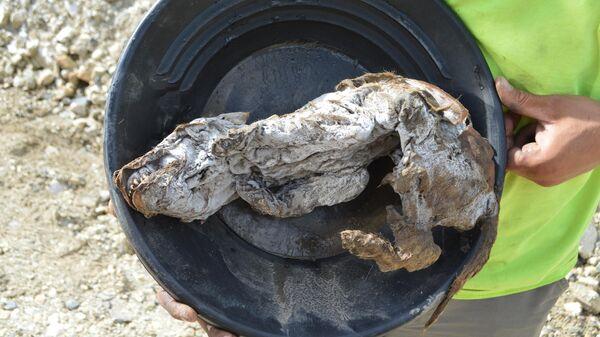 Мумия молодой волчицы, найденная на Юконе
