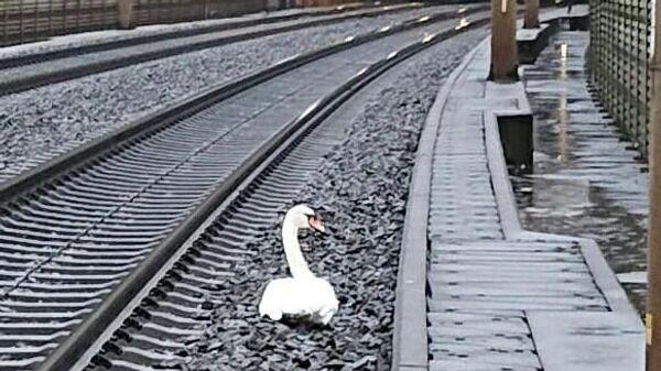 Лебедь, затруднивший движение поездов на железной дороге в Германии