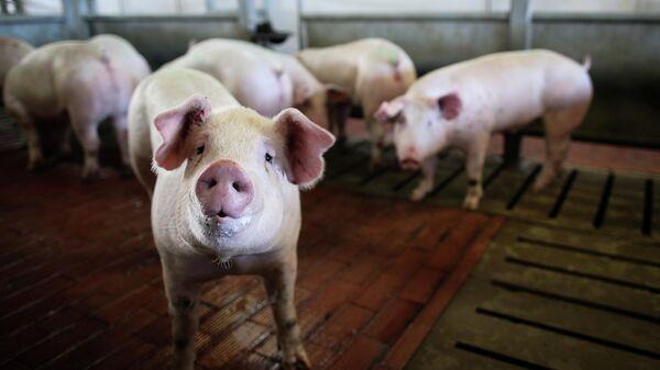 В Воронежской области зафиксировали вспышку африканской чумы свиней
