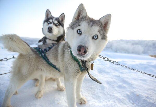 Ездовые собаки породы сибирский хаски в туристическом парке Северное сияние в Мурманской области