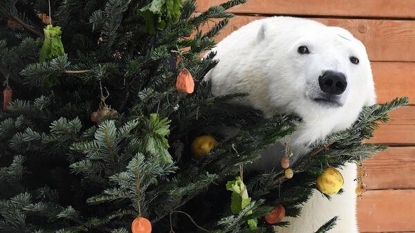 Белая медведица получила новогодний подарок