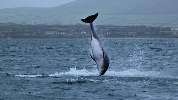 Дельфин Фунги