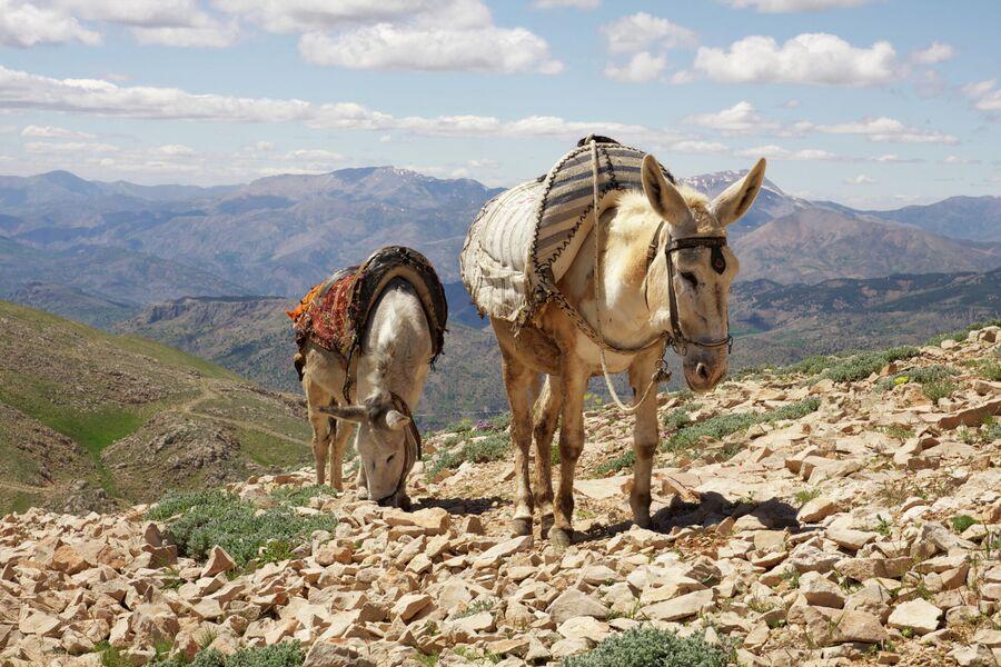 Ослики на горе Немрут-Даг в Турции