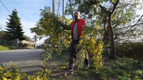 Местные жители собирают ветви мимозы для последующей продажи в Сочи