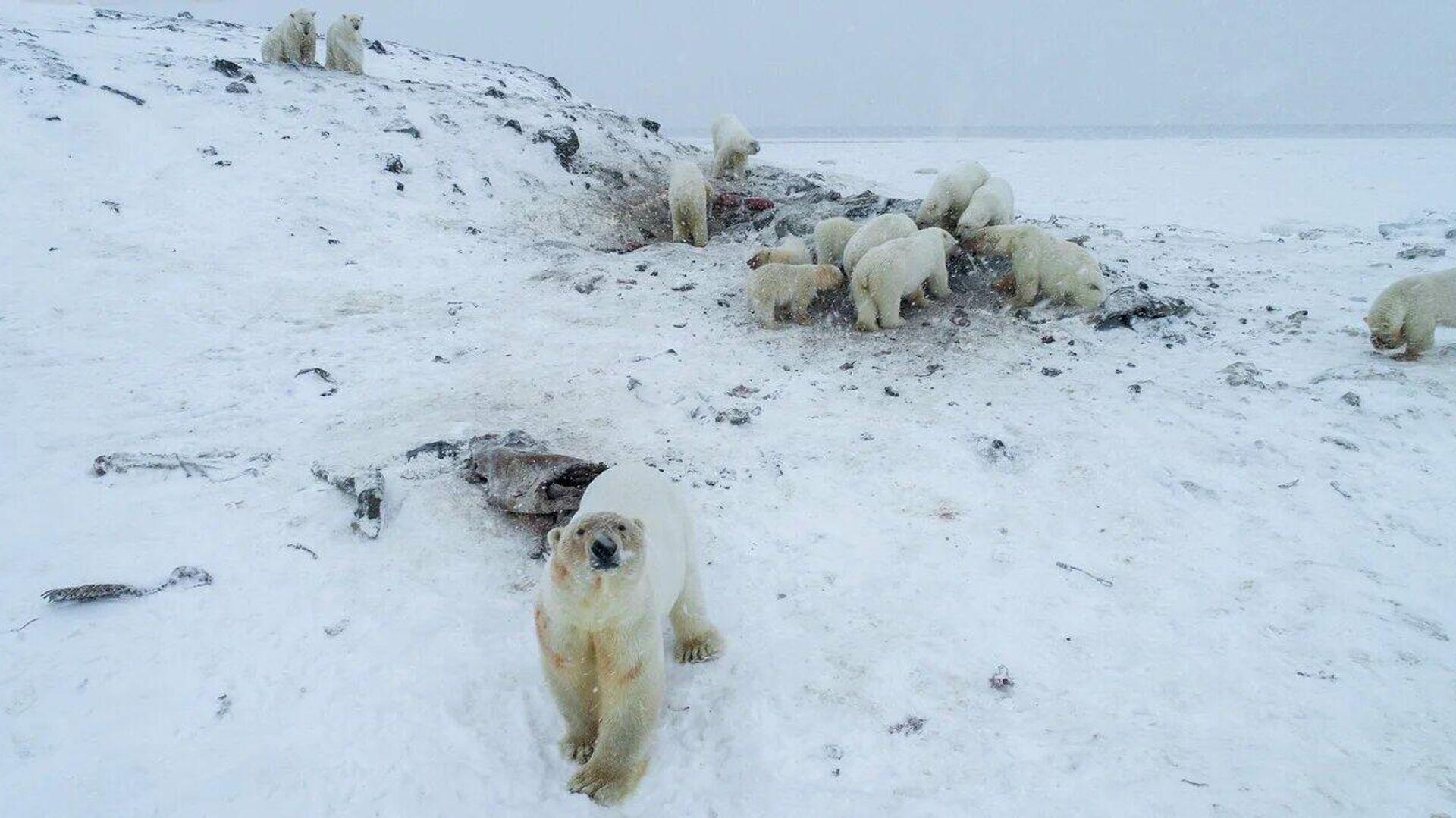 Ученый оценил влияние изменения климата на белых медведей