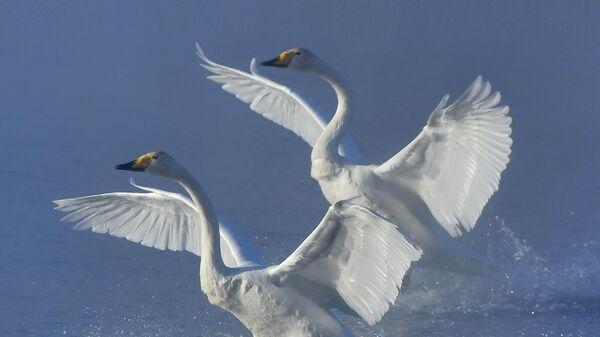 Зимовка лебедей в Алтайском крае