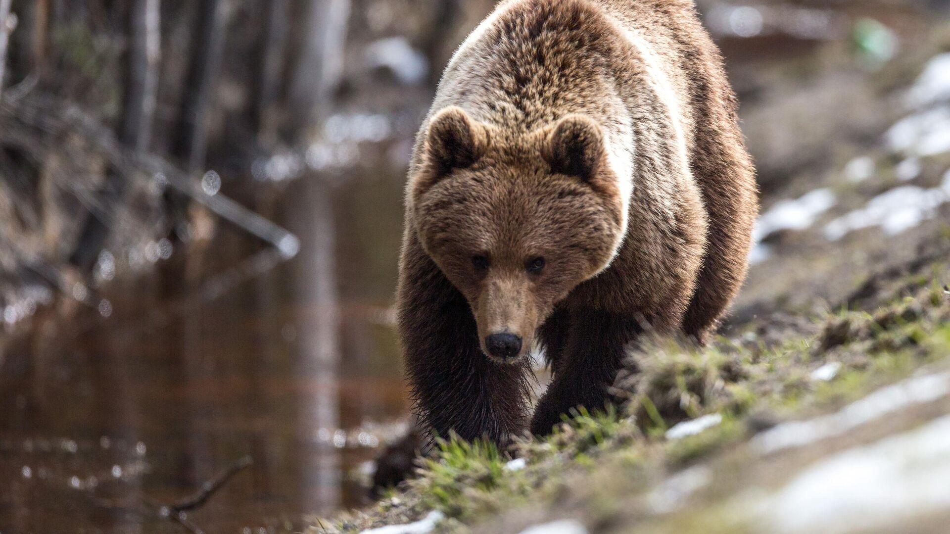 Бурый медведь после зимней спячки в Карелии - РИА Новости, 1920, 28.07.2021